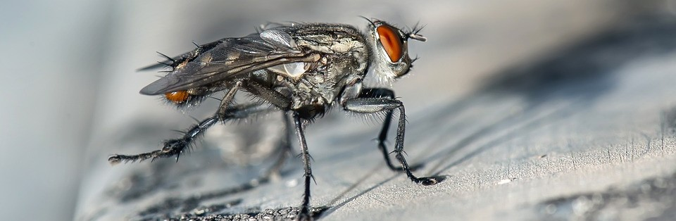 Close up of Cluster Fly.