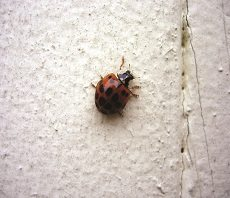 home hibernating insect control, home hibernating insect exterminator, home hibernating insect services, home hibernating insect removal, hibernating insect, ladybug