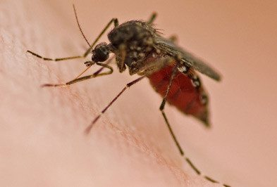 Close up of mosquito on skin.