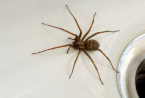Brown spider on counter.
