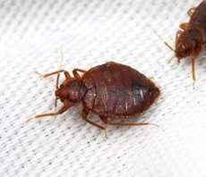 Close up of two bed bugs on white mattress.