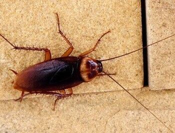 Close up of American Cockroach on concrete.