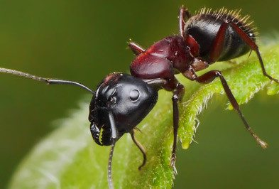 Carpenter ant on leaf.