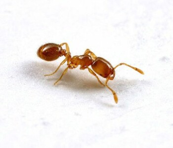 Field ant on white background.