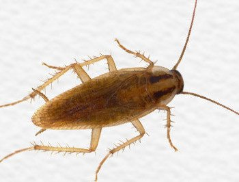 German cockroach on white surface.