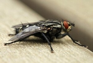 Close up of house fly.