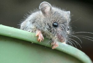 Close up of house mouse leaning over green bucket.