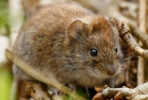 Brown meadow vole on twigs.