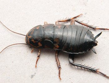 Oriental Cockroach on white surface.