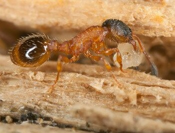 Close up of pavement ant.