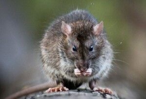 Close up of rat eating.