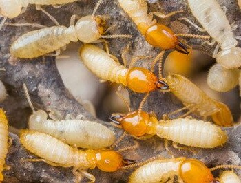 Group of termites on branch.