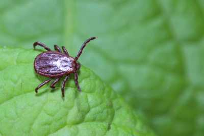 ticks, tick, tick removal, tick control, tick exterminator, tick services