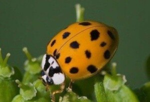 Close up of Asian Lady Beetle on plant.