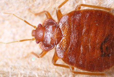 Close up of bed bug.