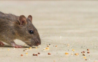 Mouse following a trail of crumbs.