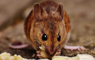 Close up of mouse eating nuts.