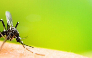 Close up of black mosquito.