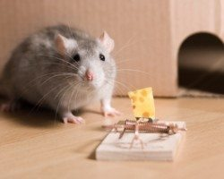home mice/rodent control, home mice/rodent exterminator, home mice/rodent services, home mice/rodent removal, mice/rodents