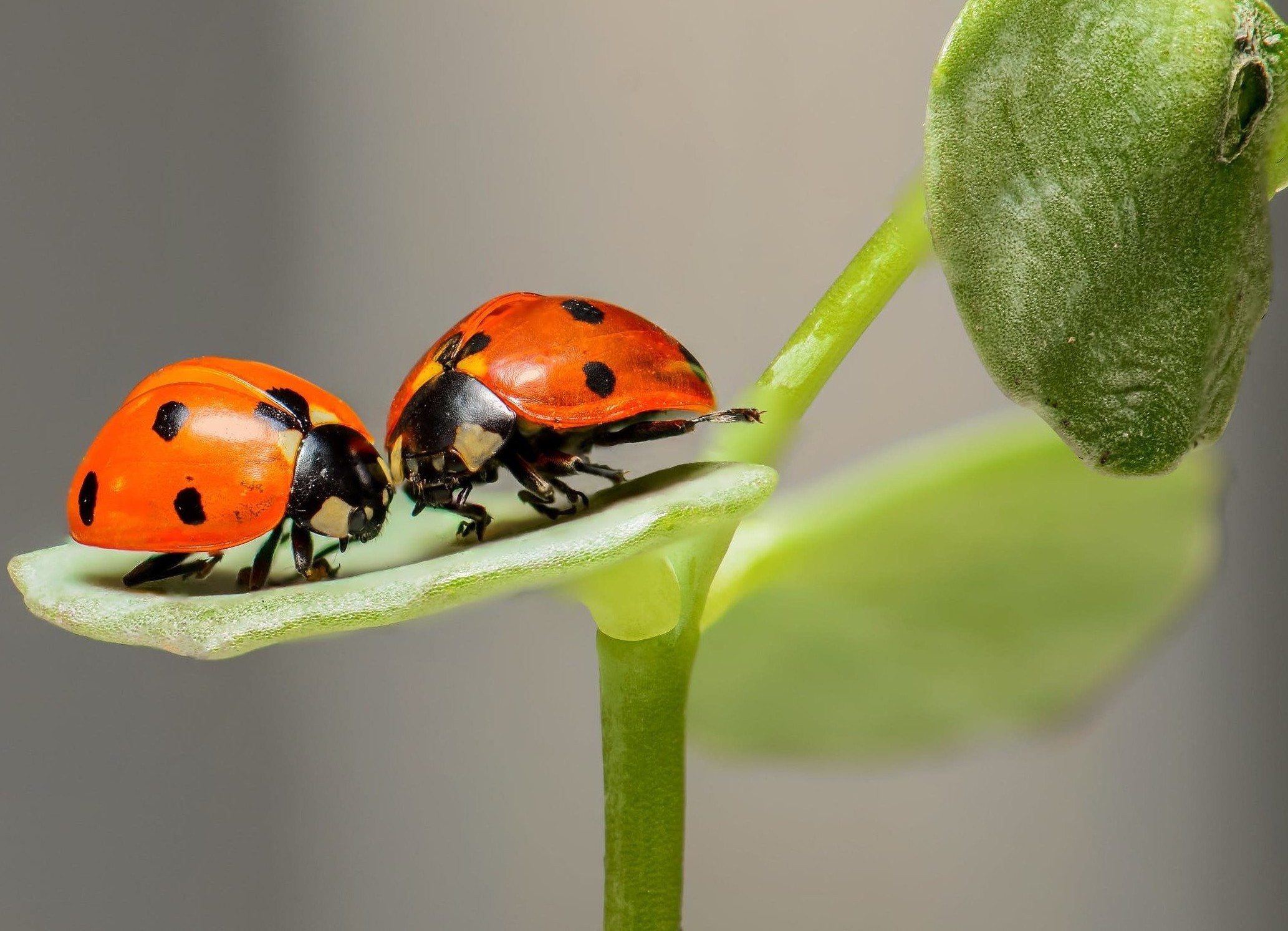 Two ladybugs sitting on leaf.