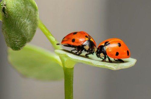 Two ladybugs sitting on leaf.