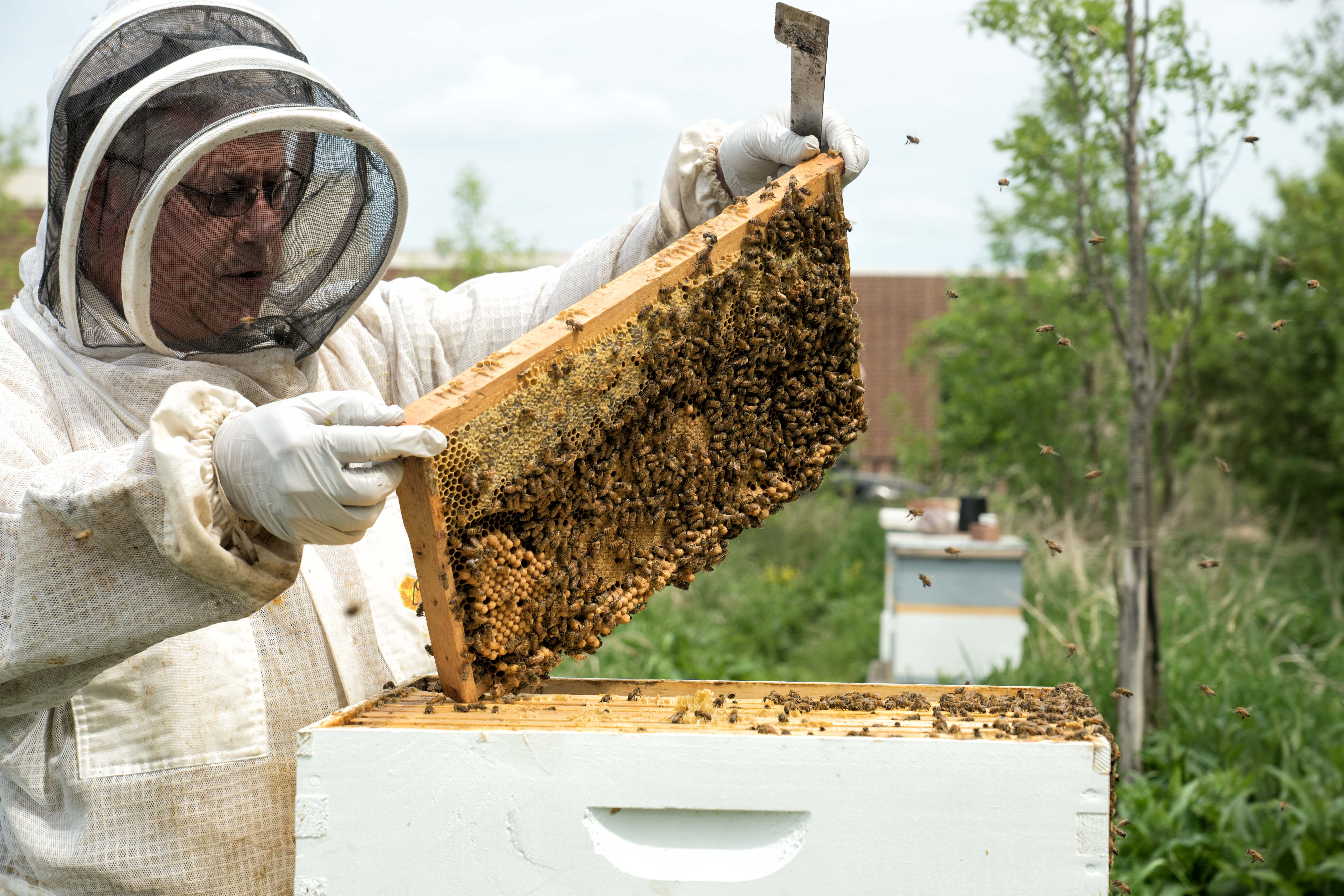 Male beekeeper opening bee container.