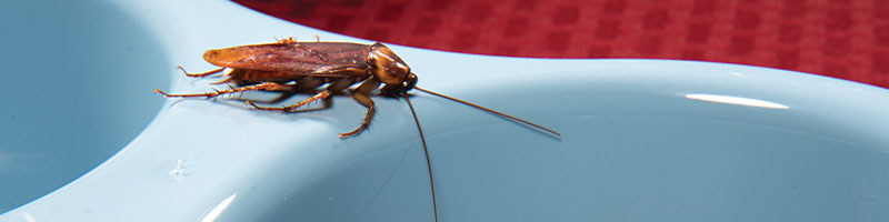 Photo of American Cockroach sitting on pet food dish