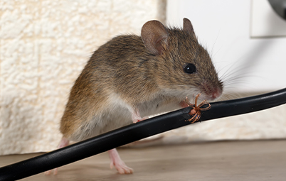Mouse chewing on wires in house