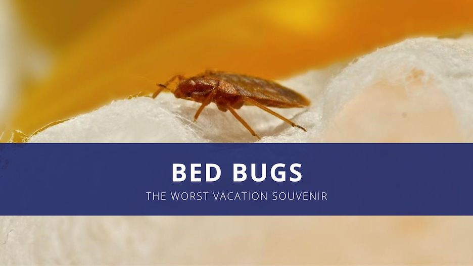 A bed bug sitting on cotton, magnified for detail. Text over the photo reads Bed Bugs, the worst vacation souvenir
