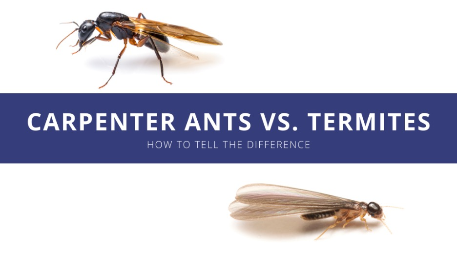 A carpenter ant and a termite on a white background with the post title text sitting between them